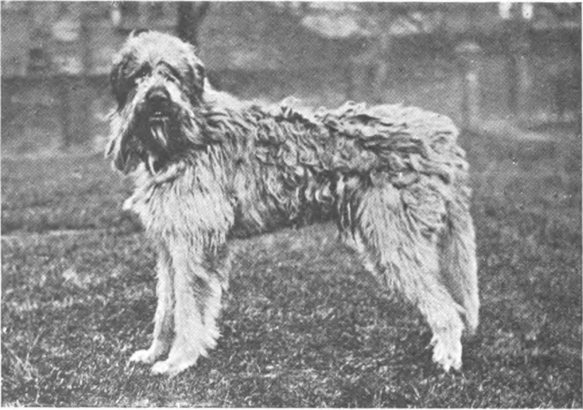Wolf-tibetan dog